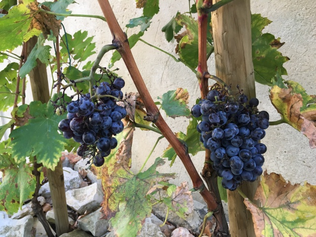 France 2015: grapes